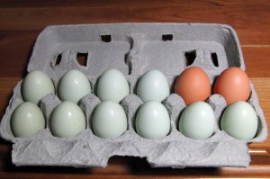 A dozen eggs in an egg carton. Most are green, two are brown.